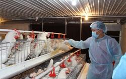 Ứng phó tình trạng giá thức ăn chăn nuôi tăng cao: Chuyển sang nuôi gia súc, gia cầm?