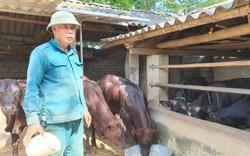 Thanh Hóa: Vay vốn Quỹ hỗ trợ nông dân nuôi bò lai 3B, nông dân ngày càng khá giả
