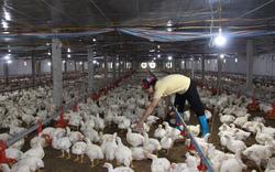Giá gia cầm hôm nay 7/10: Giá gà, vịt có biến động, chủ trại bày cách tránh sự cố gà chết hàng loạt