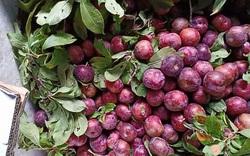 Lào Cai: Vào mùa mận máu ruột đỏ rực, quả bé tí ai cũng thích mua, đặt hàng đều đều qua Zalo, Facebook
