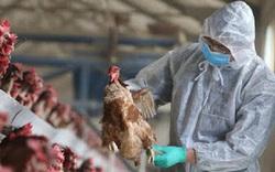 Chủng cúm gia cầm A/H5N8 có thể lây lan sang người lần đầu tiên xuất hiện tại Quảng Ninh