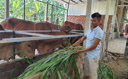 """Chàng trai trẻ xứ Quảng """"bỏ túi"""" hơn 200 triệu mỗi năm nhờ nuôi bò 3B nhốt chuồng"""
