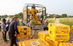 Bắc Giang: Vịt khoang là giống vịt gì mà dân nuôi ra bán rõ đắt nhưng thương lái Lạng Sơn vẫn mua hết sạch?