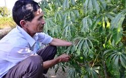 TT-Huế: Doanh nghiệp bán sắn giống nhiễm bệnh phải hoàn trả tiền cho dân