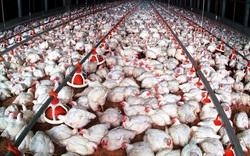 """Còn 9,3 triệu con gà lông trắng phải nuôi """"báo cô"""" trong chuồng, nông dân ngại tái đàn, lo thiếu gà Tết"""