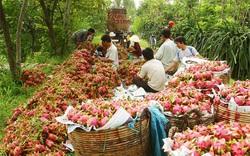 Gần 100% thanh long nhập khẩu ở Trung Quốc là từ Việt Nam