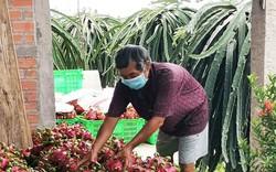 Thanh long 'tắc' sang Trung Quốc: Sẽ thông ngày 22/9