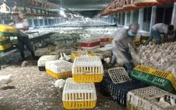 Giá gia cầm hôm nay 24/9: Giá gà công nghiệp giảm mạnh, giá vịt thịt ba miền neo ở mức cao