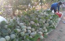 An Giang: Ở đây nông dân trồng thứ cây ra trái tròn như trái banh, giá bán có rẻ vẫn lời hơn cấy lúa