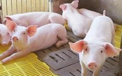 """Tổng cục Thống kê lý giải vì sao """"giá thức ăn chăn nuôi tăng cao nhưng giá lợn hơi lại giảm""""?"""