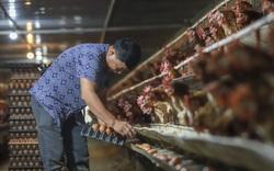 Chỉ vì khó vận chuyển chất độn chuồng, trang trại khó tái đàn gà, trứng giống đành bán rẻ