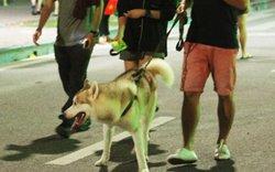 Chó nhe nanh, thè lưỡi tung tăng dạo phố đi bộ Hồ Gươm