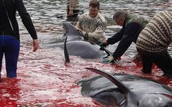 Cảnh thảm sát 23 con cá voi, nhuộm đỏ máu ở hòn đảo Đan Mạch