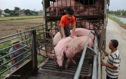 Hội chăn nuôi kiến nghị kiểm soát heo nhập khẩu