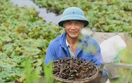 Nông sản Việt Nam gọi là củ nhưng mọc dưới nước như lục bình, có thể thổi như sáo