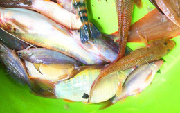 Cao thủ bắt cá đặc sản mùa nước nổi