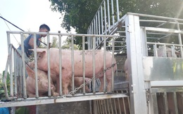 Nhiều nơi nới lỏng giãn cách, giá heo hơi vẫn không tăng, người nuôi mất 20.000 đồng/kg