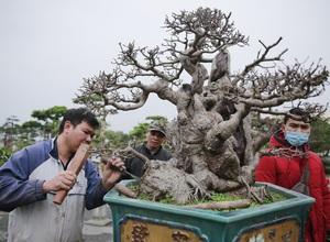 Mãn nhãn với những chậu bonsai quý hiếm đang có mặt tại Hà Nội