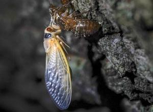 Hình ảnh hiếm: Hàng nghìn tỷ con ve sầu sắp trồi lên sau 17 năm ngủ dưới lòng đất