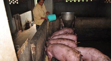 Tỉnh công bố hết dịch tả lợn châu Phi, người chăn nuôi vẫn đứng ngồi không yên