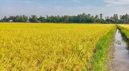 Bí kíp bón phân tăng năng suất lúa lên 7 tấn/ha