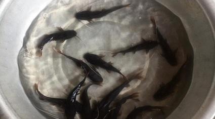 """""""Mắt thấy tai nghe"""" hiệu quả mô hình nuôi cá thát lát, lăng nha trên hồ thuỷ lợi"""