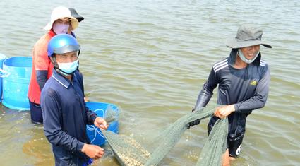 Ninh Thuận: Nuôi ốc đặc sản gì dưới nước mặn mà người Trung Quốc thích ăn con nhỏ, khách Việt Nam thích ăn con to?