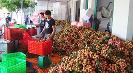 Huyện Lục Ngạn thu 1.620 tỷ đồng từ vải thiều
