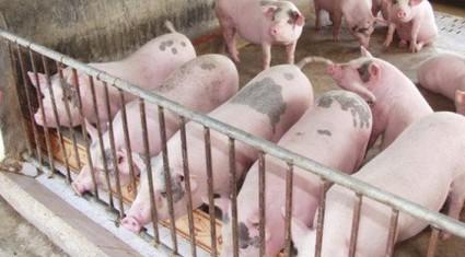 """""""Đại khủng hoảng"""" giá lợn và cuộc giải cứu chưa từng có"""