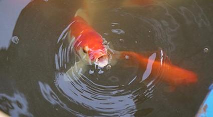 Ảnh-clip: Cá Koi Nhật Bản sau 1 tháng thả sông Tô Lịch giờ ra sao?