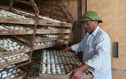 Thanh Hóa: Ông nông dân U60 nuôi ngỗng, nuôi ngan bơi kín cả mặt hồ, đếm không xuể