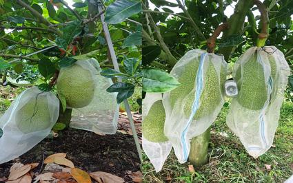 Giá mít Thái hôm nay 18/10: Cây mít tơ bón phân gì mau lớn, trồng bao nhiêu tháng thì để trái được?