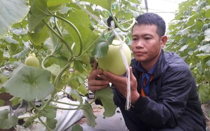 Thanh Hóa: Bỏ phố về quê trồng dưa vàng, trai Nga Sơn vẫn đàng hoàng như ai