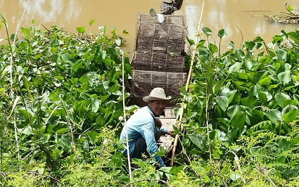 Mùa nước nổi An Giang đi đặt lọp bắt tôm đồng, giá tôm đồng có giảm, nông dân vẫn vui
