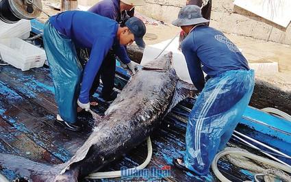 """Làng chài chuyên săn """"kình ngư"""" -cá kiếm, toàn con nặng hàng tạ ở tỉnh Quảng Ngãi"""
