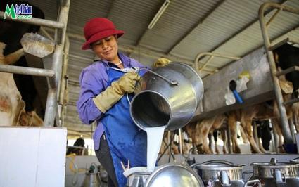 Mộc Châu Milk: Thành công nhờ gắn kết bền chặt với nông dân