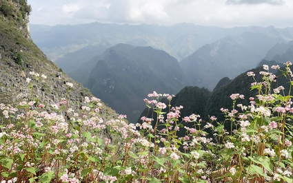 Hà Giang: Tháng 10 mê mẩn vườn hoa tam giác mạch, du khách ngoại tỉnh đến không cần giấy xét nghiệm