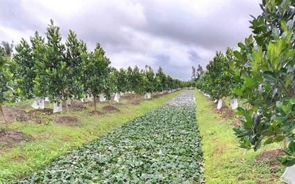 Hậu Giang: Trên vườn trồng mít Thái, dưới mương nuôi ốc bươu, thả củ ấu, nông dân nhẹ nhàng thu 12 triệu/tháng