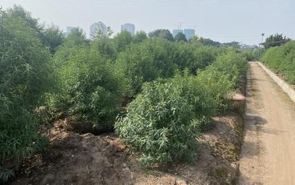 Đào rừng tiền triệu về phố, chủ vườn đào lên kế hoạch khuyến mại Tết Nhâm Dần 2022