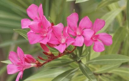 7 loại cây cảnh đẹp nhưng lại có độc, trồng trong nhà phải cẩn trọng