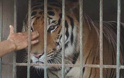 Từ vụ nuôi nhốt 17 cá thể hổ: Tội phạm buôn bán động vật hoang dã không thua gì tội phạm ma túy!