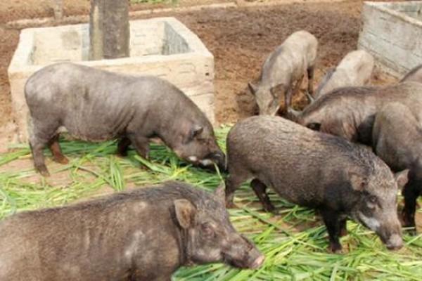 """Nuôi lợn rừng lãi """"khủng"""", nông dân mạnh tay đầu tư trại tiền tỷ"""