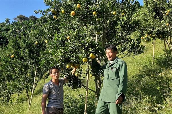 Một nông dân nhân thành công giống quýt ngọt bản địa quý hiếm