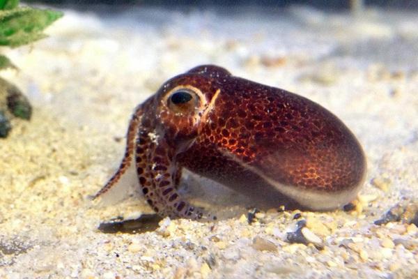 Phát hiện loài mực ống mới ở Okinawa, Nhật Bản