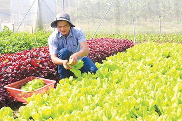 """Bỏ việc ngân hàng lương cao về trồng rau sạch """"5 không"""""""