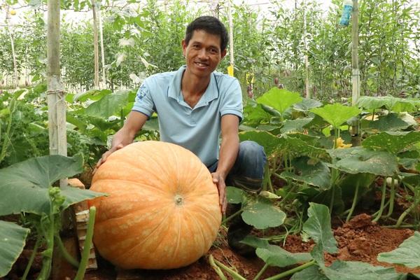 Lâm Đồng: Anh nông dân Đà Lạt trồng kiểu gì mà trái bí ngô nặng tới gần cả tạ?