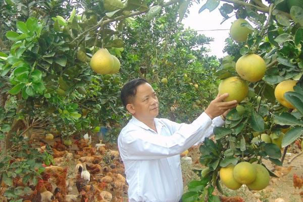 """Thái Nguyên: Dưới nuôi gà ta đông như """"quân Nguyên"""", trên trồng giống bưởi quý, ông nông dân này có của ăn của để"""