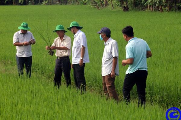 Tiền Giang: Nông dân trồng thứ lúa đặc sản theo cách gì mà hễ gặt xong là có công ty xuất khẩu đến mua luôn?