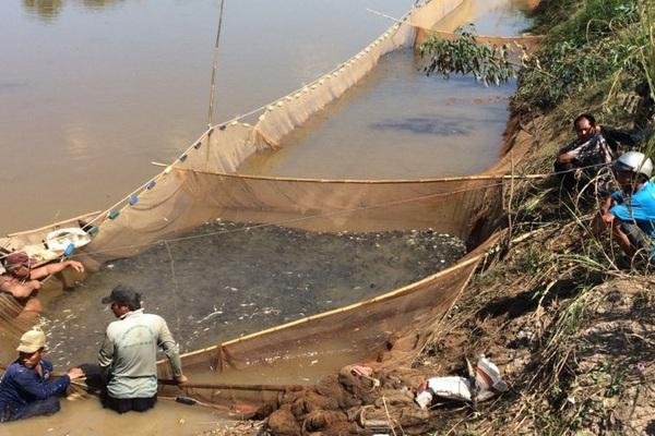 Đồng Tháp: Dẫn dụ cá đồng vào nuôi trong ruộng lúa, nông dân bắt lên toàn cá ngon, tươi roi rói, lãi hơn 110 triệu/ha