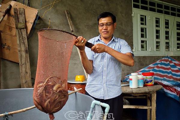 Cà Mau: Cách nuôi lươn không bùn độc đáo của ông Tập, khi bắt lên con nào cũng to dài, vàng ươm, bán đắt